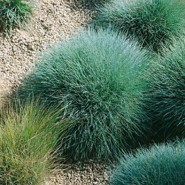 Ornamental grass turquoise blue fescue grass seed for Blue ornamental grass varieties