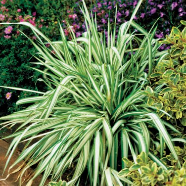 Ornamental grass dwarf garter ribbon grass seed for Short growing ornamental grasses