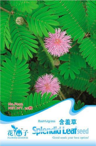 Foliage Mimosa pudica Sensitive F002 1 pack 30 seeds