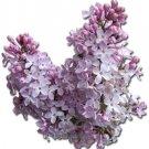 Lilac (soy wax tarts)