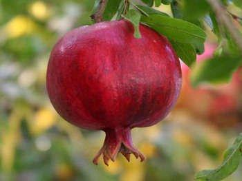 Pomegranate  (soy wax tarts)