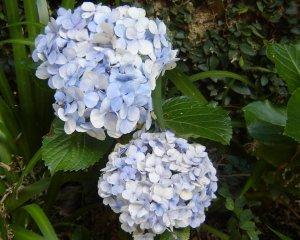 Hydrangea (soy wax tarts)