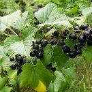 Black Currants  (soy wax tarts)