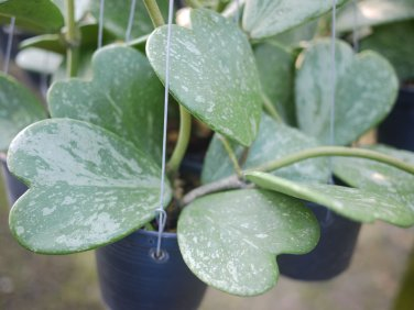 Rooted Hoya kerrii splash