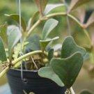 Cutting Hoya manipurensis