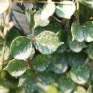 Cutting of Hoya curtisii