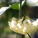 Cutting of Hoya cystiantha