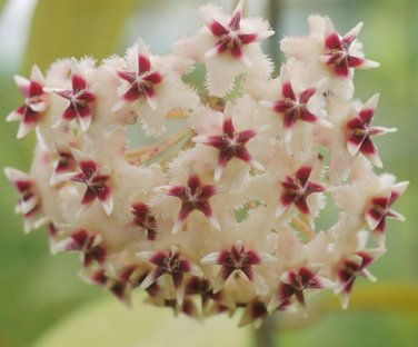 Cutting of Hoya erythrostemma sukirin narathiwas