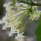 Cutting of Hoya javanica white