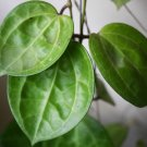 Cutting of Hoya latifolia