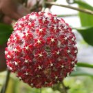 Cutting of Hoya mindorensis red