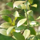 Cutting of Hoya walleniana