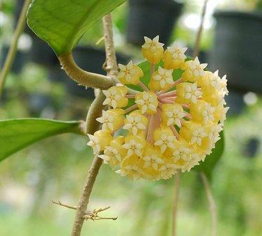Rooted plant of Hoya ut 038