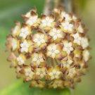 Rooted plant of Hoya finlaysonii satoon