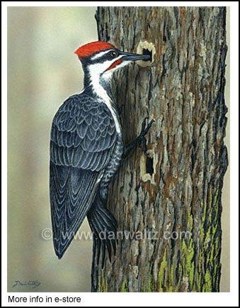 Pileated Woodpecker Original