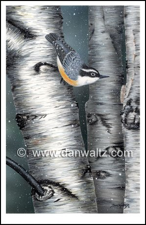 Red Breasted Nuthatch Print