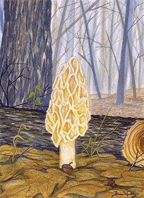 Morel Mushroom Orig