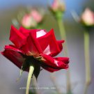 Red Rose Rising - 8x10 - Original Fine Art Photograph