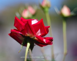 Red Rose Rising - 8x10 - Original Fine Art Photograph