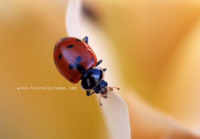 Lady Bug Spring - 5x7 - Original Fine Art Photograph