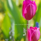 Violet Tulips - 8x10 - Original Fine Art Photograph