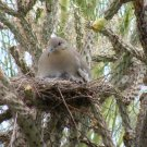 Dove on Nest