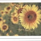 Sweet Sunflowers