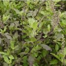 Thai Red Holy Basil 400 seeds Heirloom native Thai vegetable