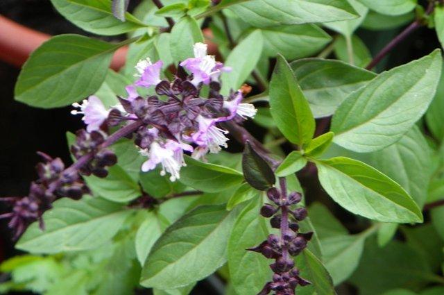 Thai Sweet Basil 600 seeds Heirloom Thai native vegetable
