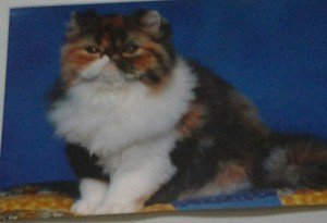 Cute Fat Kitten kitty cat 4x6 photo card Animals