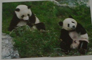 Cute Panda bears Chow Down 4x6 glossy photo card Animals