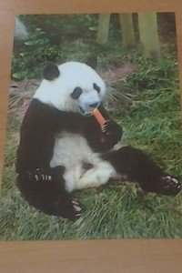 Cute Panda bear Munching on a Carrot 4x6 glossy photo card Animals