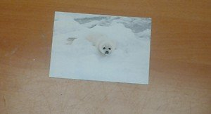 Cute Harp Seal 4x6 photo card 7 Animals Frolicking in Nature