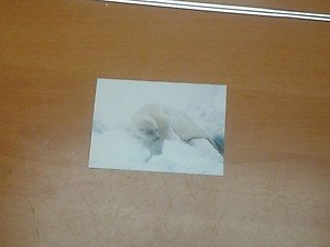 Cute Harp Seal 4x6 photo card 5 Animals Frolicking in Nature