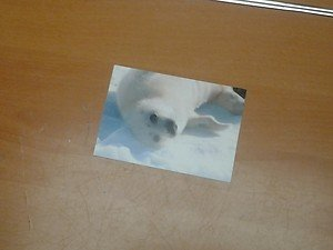 Cute Harp Seal 4x6 photo card 3 Animals Frolicking in Nature