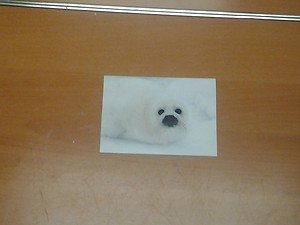 Cute Harp Seal 4x6 photo card 2 Animals Frolicking in Nature