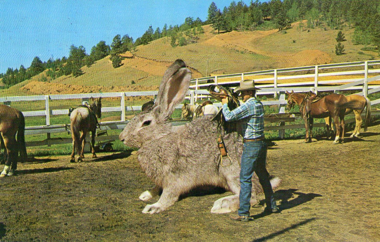 """Novelty- 1963 """"Big Jack Rabbit"""" Postcard"""
