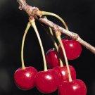TGC: Instant Cherry Tea