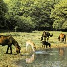 New Forest Ponies Hampshire Postcard. Mauritron 248440