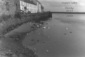 Swans at Galway Beach #7