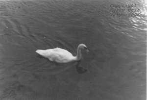 Swans at Galway Beach #2