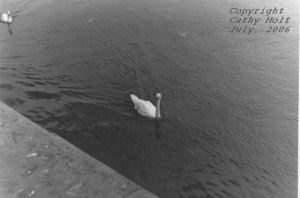 Swans at Galway Beach #8