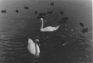 Swans at Galway Beach #11
