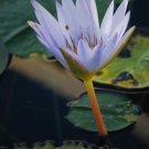 Flowering Lily Pad #10: Photograph Taken in Gainesville, Florida, 2008
