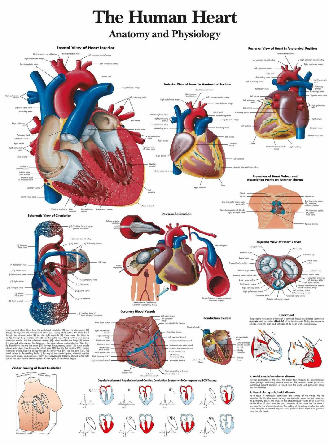 """The Human Heart Anatomy And Physiology Human Organ View Art Poster 31"""""""
