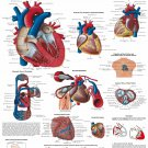 The Human Heart Anatomy And Physiology Human Organ View Art Poster 31""