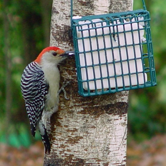 10-pack Premium Suet Cake for Wildbirds w/ FREE SHIPPING TO US only