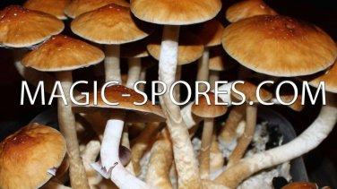 Magic Mushroom P  Cubensis 10CC Spore Syringe Any Strain