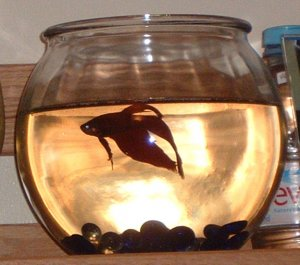 male beta fish with bowl
