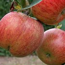 AScential Beautiful Swiss Apple Skin Refresh 4 oz.